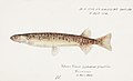 Southern Pacific fishes illustrations by F.E. Clarke 3.jpg