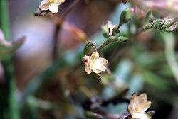 Spergularia canadensis FWS-1.jpg