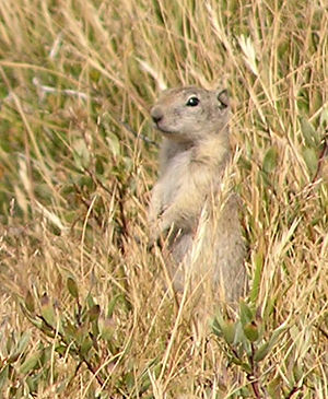 Alarm signal - Alarm calls have been studied in many species, such as Belding's ground squirrels.