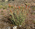 Sphaeralcea ambigua 12.jpg