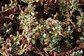 Sphaeranthus indicus 2.jpg