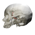 Sphenosquamosal suture - skull - lateral view02.png