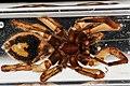 Spider, U, underside, Patuxent, MD 2012-10-05-12.45 (8057226411).jpg