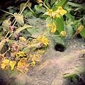 Spider in a flowery web.jpg