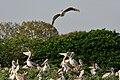 Spot-billed Pelican (Pelecanus philippensis) coming with feed W IMG 7303.jpg