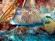 Spotted Trunkfish at Curacao.jpg