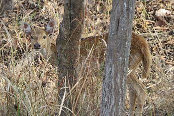 Spotted deer spotted behind the tree.jpg