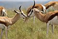 Springbok, Antidorcas marsupialis at Krugersdorp Game Reserve, Gauteng, South Africa (31497463186).jpg