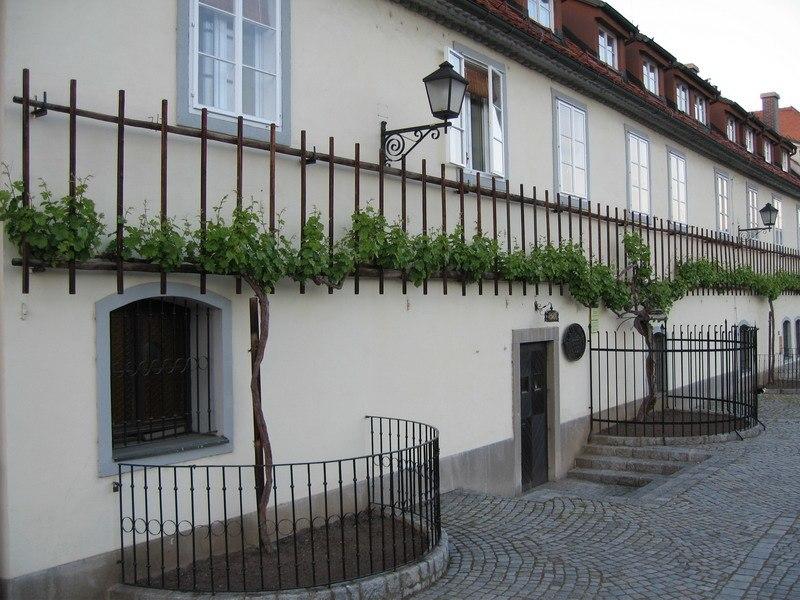 Stara trta - najstarejša trta na svetu (Maribor)