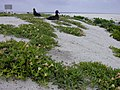 Starr-010520-0018-Oenothera laciniata-habit on beach with blackfoot albatross chicks-Along coast-Kure Atoll (24506518846).jpg
