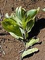Starr-031013-0021-Acacia mangium-branch-Hamakuapoko-Maui (24580073551).jpg