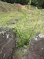 Starr-050815-7394-Olea europaea subsp cuspidata-habit-Pohakuokala Gulch-Maui (24801571595).jpg