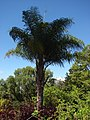 Starr-071024-0242-Syagrus romanzoffiana-habit-Enchanting Floral Gardens of Kula-Maui (24894257345).jpg