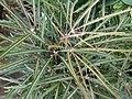 Starr-080103-1372-Schefflera elegantissima-leaves-Lowes Garden Center Kahului-Maui (24532082879).jpg