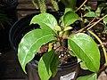 Starr-080117-2033-Cinnamomum camphora-leaves-Home Depot Nursery Kahului-Maui (24901652705).jpg