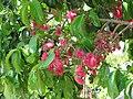 Starr-090609-0345-Syzygium malaccense-flowers and leaves-Haiku-Maui (24845207372).jpg