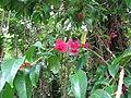 Starr-090623-1398-Syzygium malaccense-flowers and leaves-Nahiku-Maui (24966424675).jpg