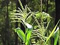 Starr-090707-2394-Zea mays-male flowers-Olinda-Maui (24942738216).jpg