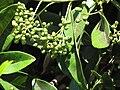 Starr-090721-3231-Pimenta dioica-fruit and leaves-Wailuku Heights-Maui (24343583333).jpg