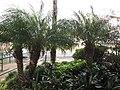 Starr-091021-8476-Phoenix roebelenii-habit-Wells Park Dojo Wailuku-Maui (24619068299).jpg
