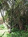Starr-110330-3641-Syzygium jambos-habit-Garden of Eden Keanae-Maui (24712893189).jpg
