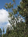 Starr-110331-4450-Banksia integrifolia-habit-Shibuya Farm Kula-Maui (24714071399).jpg