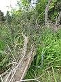 Starr-110331-4468-Banksia marginata-tree fallen over-Shibuya Farm Kula-Maui (24451098394).jpg