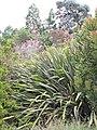 Starr-110331-4498-Phormium tenax-flowering habit-Shibuya Farm Kula-Maui (24454949063).jpg