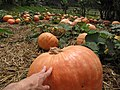 Starr-111004-0572-Cucurbita pepo-large pumpkins-Kula Country Farms-Maui (24491530413).jpg