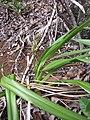 Starr-120229-3084-Dianella sandwicensis-habit-Waikapu Valley-Maui (25043239161).jpg