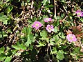 Starr-120329-3987-Geranium homeanum-flowers and leaves-Near Stone building HNP-Maui (24507483064).jpg