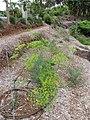 Starr-120415-4666-Anethum graveolens-flowering habit in veggie garden-Hawea Pl Olinda-Maui (24771762939).jpg