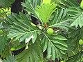 Starr-120606-6793-Artocarpus altilis-fruit and leaves-Kahanu Garden NTBG Hana-Maui (24776650869).jpg