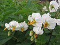 Starr-120620-7466-Solanum tuberosum-flowers-Kula Agriculture Station-Maui (25145744165).jpg