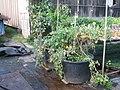 Starr-130114-1413-Solanum lycopersicum-fruiting habit-Paia-Maui (24836852449).jpg