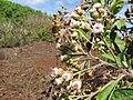 Starr-130320-3378-Pluchea carolinensis-flowers with Strymon bazochii smaller Lantana butterfly biocontrol-Nihoku Mokolea Pt Kilauea Pt NWR-Kauai (25182801426).jpg