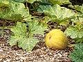 Starr-131002-2377-Cucurbita moschata-fruit and leaves-Hawea Pl Olinda-Maui (25109039062).jpg