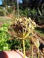 Starr-131216-2785-Daucus carota subsp sativus-seedhead-Hawea Pl Olinda-Maui (25228497515).jpg