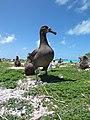 Starr-150328-0911-Coronopus didymus-Black Footed Albatross-Northeast Coast Eastern Island-Midway Atoll (25151185612).jpg