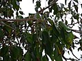 Starr-180406-0734-Bursera simaruba-leaves fruit-DOFAW Arboretum Hilo-Hawaii (39559987200).jpg