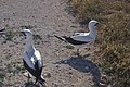 Starr-990526-0858-Sporobolus pyramidatus-near runway with masked boobies-Tern Island-French Frigate Shoals (23898844864).jpg