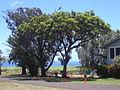 Starr 030702-0029 Jacaranda mimosifolia.jpg
