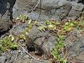 Starr 030923-0382 Ipomoea pes-caprae subsp. brasiliensis.jpg