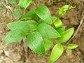 Starr 051122-5325 Asparagus asparagoides.jpg