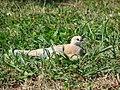 Starr 061224-2834 Trifolium repens.jpg