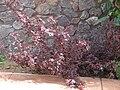 Starr 070221-4830 Hibiscus acetosella.jpg