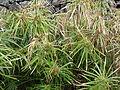 Starr 070308-5346 Cyperus involucratus.jpg