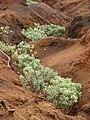 Starr 080209-2672 Achyranthes splendens var. splendens.jpg