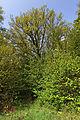 Steineiche Kalvarienberg Weitra GstNr 3347 2014-05 02 NÖ-Naturdenkmal GD-063.jpg
