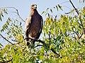 Steppe Eagle at Satara Outskirts, India.jpg